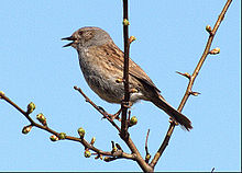 Dunnock_singing_steve_childs